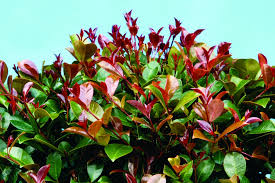 Syzygium Big Red