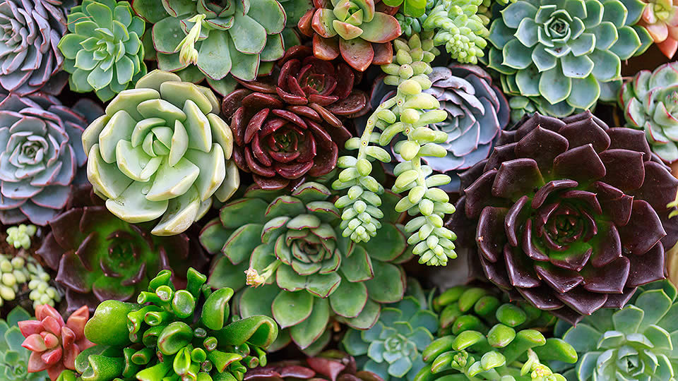 Succulents Guide Feat